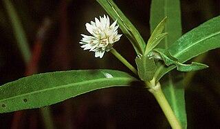 <i>Alternanthera philoxeroides</i> species of plant
