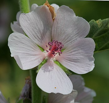 Flower of plant Althaea officinalis