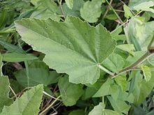 Althaea officinalis sl12.jpg