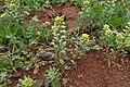 Alyssum simplex kz14.jpg