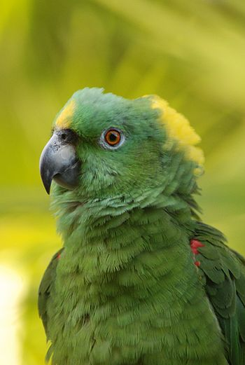 English: Yellow-naped Parrot or Yellow-naped A...