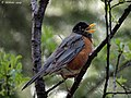 American Robin (4628578672).jpg