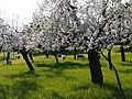 Ametllers en flor - panoramio.jpg