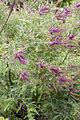 Amorpha nana - floraison-3.jpg