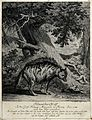 "An ""Indian wolf"" is standing in front of a tree with exotic Wellcome V0020988.jpg"