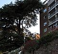 An 8-storey tree, Thames-side, Kingston. - panoramio.jpg