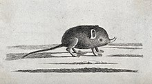 Etching of an elephant shrew with a small proboscis.