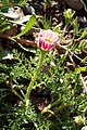 Anacyclus pyrethrum kz01.jpg