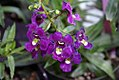 Angelonia angustifolia Angelface Blue 0zz.jpg