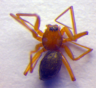 <i>Anguliphantes</i> Genus of spiders