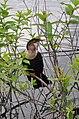 Anhinga female (8504512124).jpg