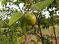 Annona glabra - alligator apple, swamp apple, Kaattatha. 7.jpg
