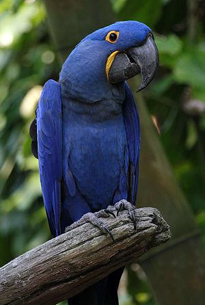 Hyacinth macaw - Image: Anodorhynchus hyacinthinus Disney Florida 8