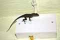 Anolis cristatellus in Picard, Dominica-2012 01 28 0200.jpg