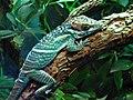 Anolis smallwoodi at the oklahoma zoo.jpg