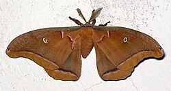 Martináč Antheraea polyphemus