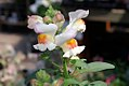 Antirrhinum Crocodile Peach 0zz.jpg