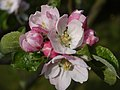 Apple Blossom, Barton Upon Humber - geograph.org.uk - 1282894.jpg