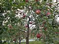 Apple Orchard at Kamimoku, Gunma, Japan.jpg