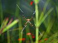 Araña de Jardin.jpg