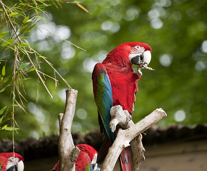 A Red-and-green Macaw at Pont-Scorff Zoo, Morbihan, Brittany, France.