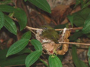 The world's 100 most threatened species - Image: Araripe Manakin (Antilophia bokermanni) on nest