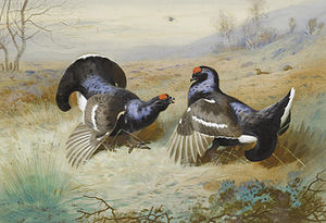 Group selection - Image: Archibald Thorburn Blackcocks at the Lek 1901