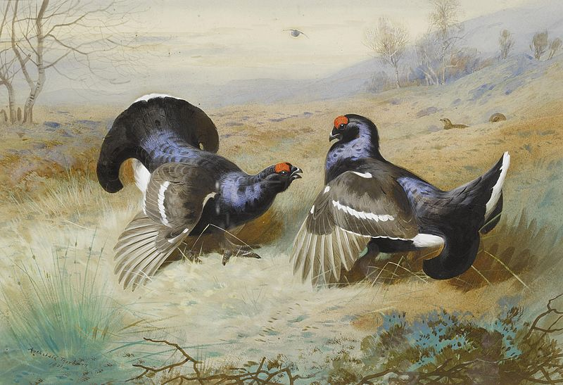 https://upload.wikimedia.org/wikipedia/commons/thumb/c/ce/Archibald_Thorburn_Blackcocks_at_the_Lek_1901.jpg/800px-Archibald_Thorburn_Blackcocks_at_the_Lek_1901.jpg