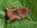 Archips podana ♀ - Large fruit-tree tortrix (female) - Листовёртка-толстушка всеядная (самка) (26426515967).jpg