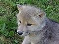 Arctic Wolf in Ontario - panoramio.jpg