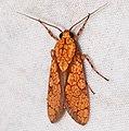 Arctiid Moth (Cresera hieroglyphica) (40342579162).jpg