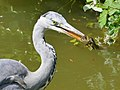 Ardea cinerea in water with fish (17945856423).jpg