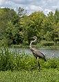 Ardea herodias in Heron Pond 5.jpg