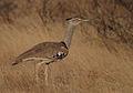 Ardeotis kori -Samburu National Park, Kenya-8.jpg