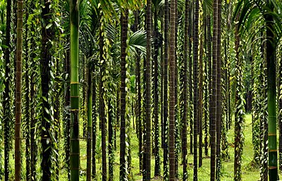 Areca and Vanilla DSC 1306.jpg