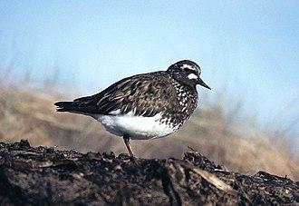 Turnstone - Black turnstone in summer plumage.