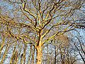 Arenbergpark-een-monumentale-boom.jpg