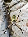 Argiope bruennichi, ragno vespa.jpg