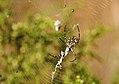 Argiope lobata hembra y argyrodes (4898595202).jpg