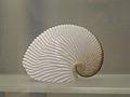 Argonauta argo. Indonésie. Museum La Rochelle.jpg