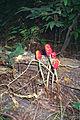 Arisaema dracontium 1117243.jpg
