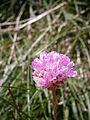 Armeria alpina003.jpg