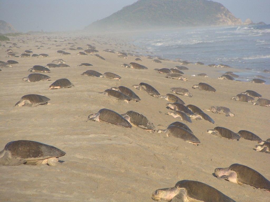 Arribada de tortugas golfinas