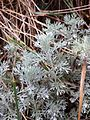 Artemisia austriaca sl10.jpg
