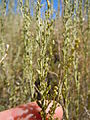 Artemisia nova (5061683770).jpg