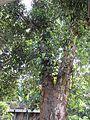 Artocarpus heterophyllus (Jack fruit) tree in RDA, Bogra 01.jpg