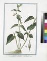 Asclepias, albo flore - Asclepiade, e Vincetossico - Dompte-venin (NYPL b14444147-1124968).tiff