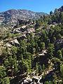 Asco-forêt de Vecchietto.jpg