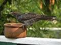 Asian Koel (Eudynamys Scolopaceus).jpg