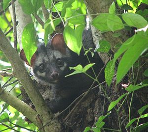 Asian palm civet - Image: Asian Palm Civet Over A Tree
